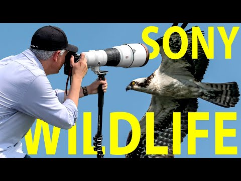 $13,000 Sony 600mm f/4 GM lens review: MIRRORLESS WILDLIFE!